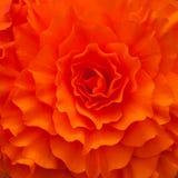 Fondo rojo de la begonia Imagen de archivo