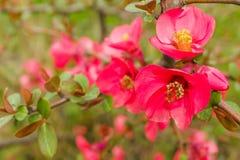 Fondo rojo de la flor de la perro-rosa Imagen de archivo