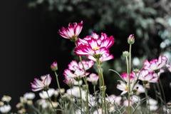 Fondo rojo de las flores del cosmos en estilo del vintage imagen de archivo