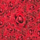 Fondo rojo de las rosas fotografía de archivo libre de regalías