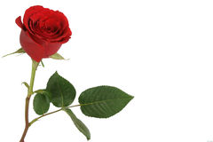 Fondo rojo de las rosas Foto de archivo libre de regalías