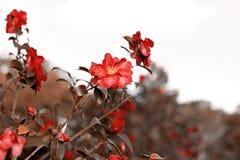 Fondo rojo de las rosas filtro retro Fotografía de archivo
