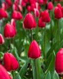 Fondo rojo de los tulipanes Tulipanes en primavera Fotografía de archivo libre de regalías