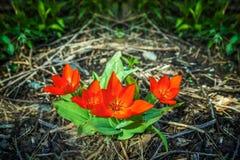 Fondo rojo de los tulipanes Tulipanes en primavera imagen de archivo
