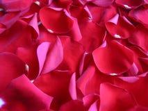 Fondo rojo de pétalos color de rosa Foto de archivo