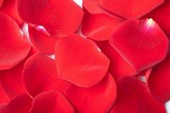 Fondo rojo de pétalos color de rosa Fotografía de archivo libre de regalías