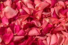Fondo rojo de pétalos color de rosa fotos de archivo