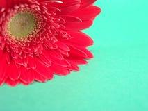 Fondo rojo del Gerbera Foto de archivo libre de regalías