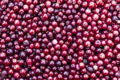 Fondo rojo del lingonberry Fotografía de archivo libre de regalías