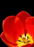 Fondo rojo del negro del tulipán Fotografía de archivo libre de regalías