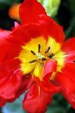 Fondo rojo del pistilo del primer de Tulip Flower de la primavera Fotografía de archivo