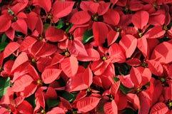 Fondo rojo del poinsettia Foto de archivo libre de regalías
