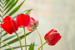 Fondo rojo del tulip?n Tarjeta de felicitaci?n del resorte tarjeta de las flores con el espacio de la copia imágenes de archivo libres de regalías
