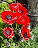 Fondo rojo floral de las amapolas del verano Imagen de archivo libre de regalías
