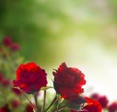 Fondo rojo hermoso de las rosas Imagen de archivo libre de regalías