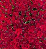 Fondo rojo sólido de las rosas Imagen de archivo libre de regalías