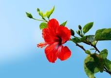 Fondo rojo s del hibisco Imagenes de archivo