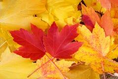 Fondo rojo y amarillo de la caída de las hojas de arce Fotos de archivo