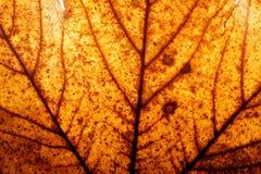 Fondo rojo y amarillo de la hoja de arce del otoño. Imagen de archivo