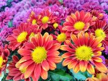 Fondo rojo y amarillo hermoso de las flores stock de ilustración