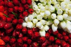 Fondo rojo y blanco de los tulipanes Fotos de archivo