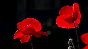 Fondo rojo y negro Rojo, blando, aire, amapola vivificante metrajes
