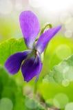 Fondo romántico con la violeta en un verde Fotos de archivo