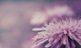 Fondo rosa-blu della primavera Fiore rosa del dente di leone su un fondo porpora closeup Per il disegno Vista laterale fotografia stock