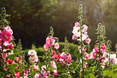 Fondo rosa-chiaro dei fiori della natura scura Fotografia Stock