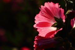 Fondo rosa-chiaro dei fiori della natura scura Immagine Stock Libera da Diritti
