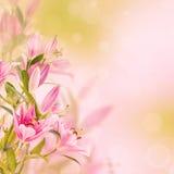 Fondo rosa dei gigli Fotografia Stock