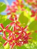Fondo rosa del fiore della natura, quisqualis indica Immagine Stock Libera da Diritti