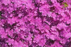 Fondo rosa del flox Fotografie Stock