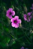 Fondo rosa del giacimento di due fiori fotografia stock libera da diritti