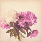 Fondo rosa dell'annata della peonia Fotografie Stock Libere da Diritti