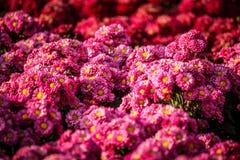 fondo rosa della margherita Immagini Stock