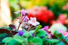 Fondo rosa della sfuocatura della viola africana Fotografia Stock