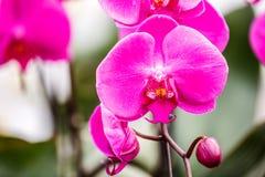 Fondo rosa di fioritura dell'orchidea Immagine Stock