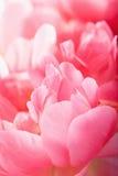 Fondo rosa di macro dei petali del fiore della peonia Immagine Stock