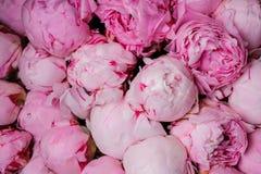 Fondo rosa fresco di struttura del fiore della peonia Fotografia Stock