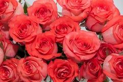 Fondo rosa-rosso delle rose Fotografie Stock Libere da Diritti