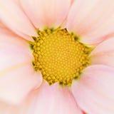 Fondo rosado blando hermoso inusual de la flor Fotografía de archivo libre de regalías