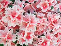 Fondo rosado de la azalea Fotografía de archivo libre de regalías