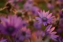 Fondo rosado de la flor Fotografía de archivo libre de regalías