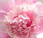 Fondo rosado de la flor del peony Imagen de archivo libre de regalías