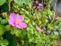 Fondo rosado de la flor salvaje Fotografía de archivo libre de regalías