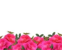 Fondo rosado de la frontera de las rosas Fotos de archivo