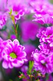 fondo rosado de la margarita foto de archivo