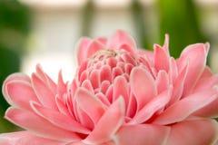 Fondo rosado 440 de la opinión de la flor Imágenes de archivo libres de regalías