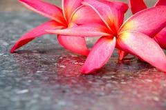 Fondo rosado de la opinión de la flor del plumeria Fotografía de archivo